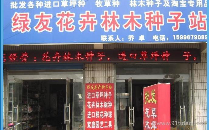 罗汉松种子,台湾罗汉松种子,小叶罗汉松种子