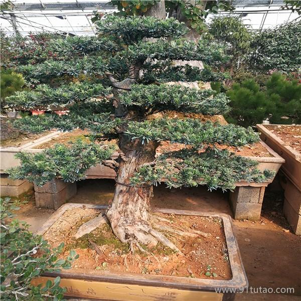 广汉园林大型 米叶罗汉松盆景 桩景 老桩 米叶罗汉松盆景价格