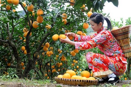 湖北秭归脐橙现摘新鲜薄皮甜橙