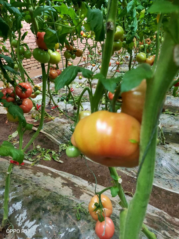 青岛人最喜欢吃的西红柿 —— 杠六九西红柿