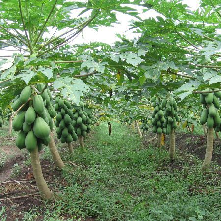 木瓜苗番木瓜树
