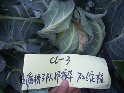 法国利雪花椰菜种子