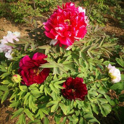 菏泽牡丹芍药花苗,花木,鲜切花,基地直销